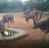 Kudu group at watering hole