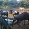 Wildebeest group