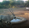 Oryx at watering hole