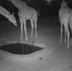 Giraffe group at watering hole