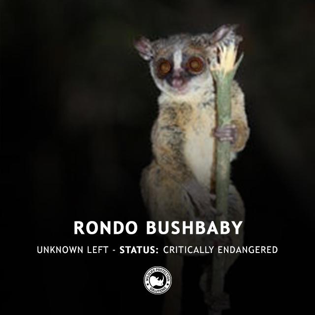Rondo Bushbaby